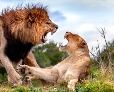 lucha-leones