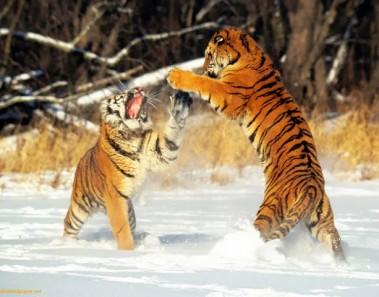 tigres_jugando