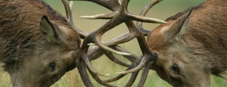 1-gran-batalla-ciervos