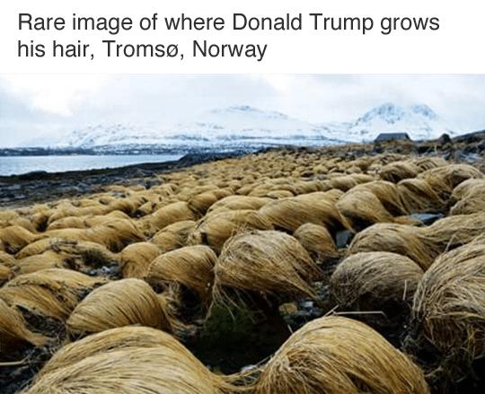 Trump meme pelo