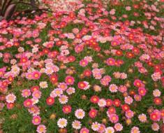 argyranthemum-frutescens