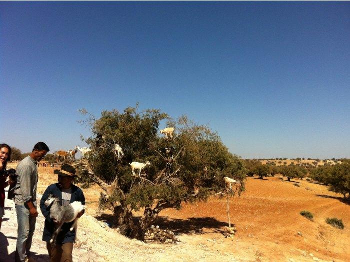 Cabras subidas a los almendros, recolectando las almendras