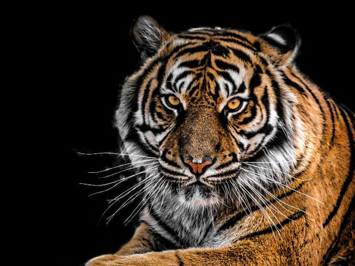 significado de soñar con tigre