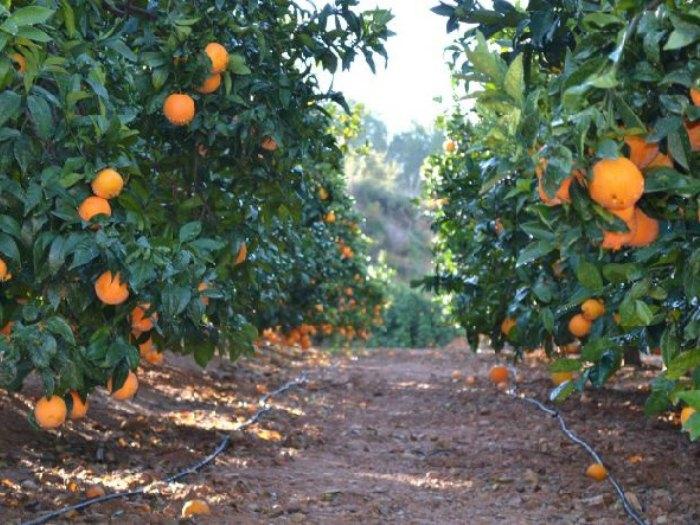 Vitamina C = Campo de Naranjas