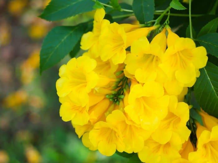 Flor de Jengibre en la infusiones de Flores de Bach