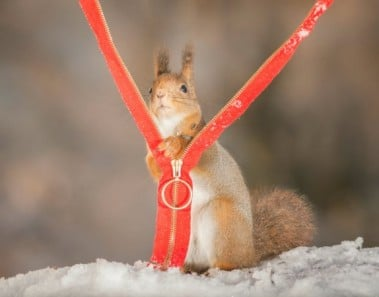 red squirrel in snow with zipper
