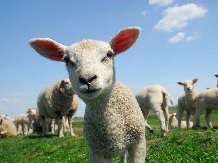 hablando con ovejas cordero