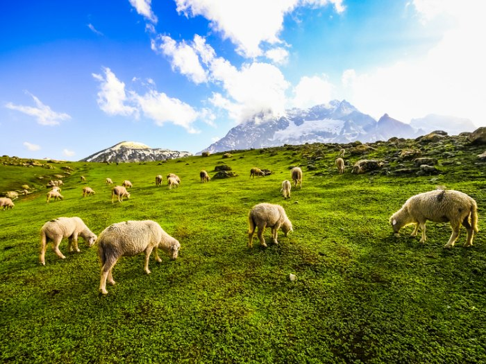 hablando con ovejas prado