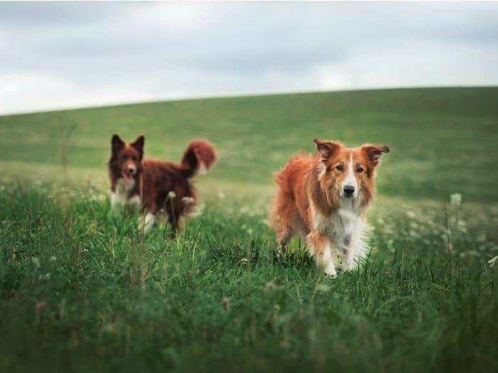 perros pastores pareja