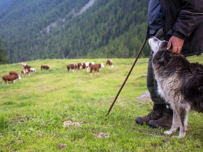 perros pastores pastor