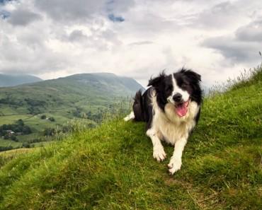 perros pastores prado