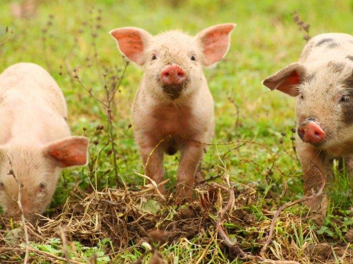 vivir-campo-cerdos