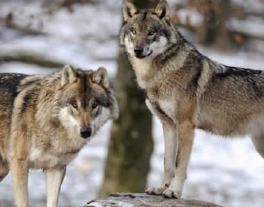 lobos-ecosistema11
