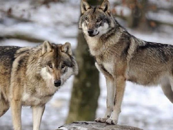 lobos americanos