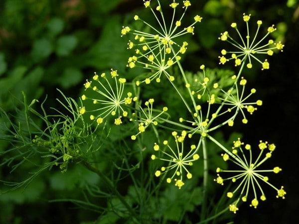Flor de eneldo