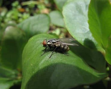 planta-mosca11