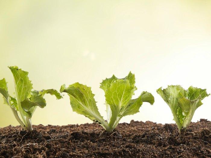 germinar lechuga sin semilla cultivo