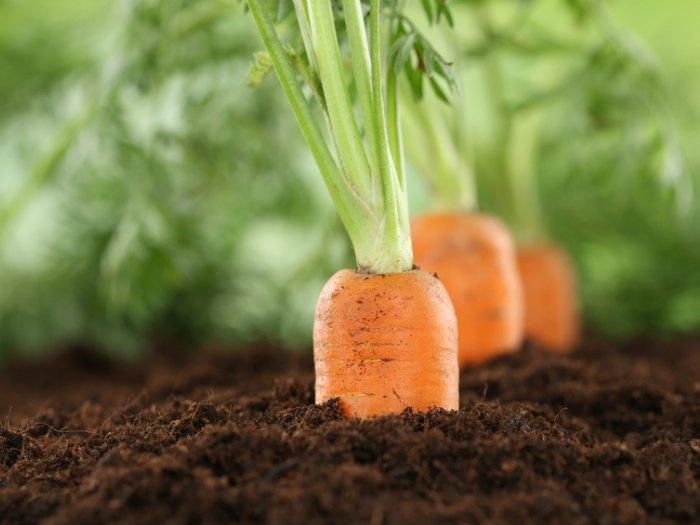 germinar zanahoria sin semilla cultivo