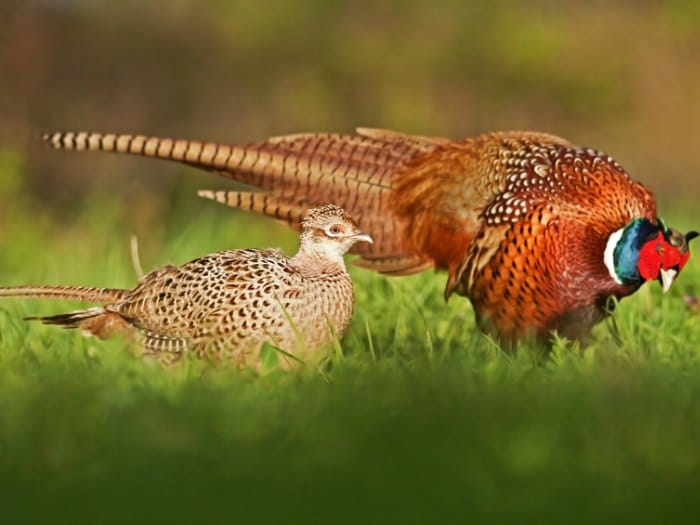 animales salvajes faisanes
