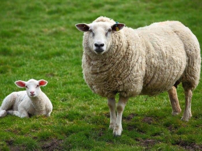 hablando con ovejas rebano