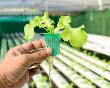 Cómo germinar lechuga sin semilla