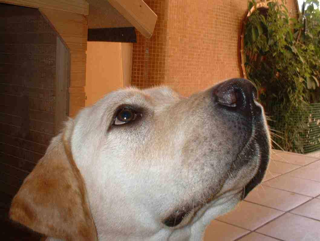 Nombres y fotos de las razas de perros 35