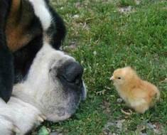 perro-pollito