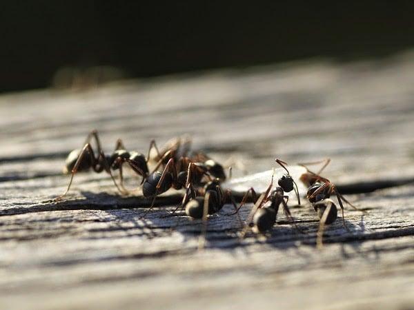 Cómo terminar con las hormigas? Remedio contra las hormigas ...