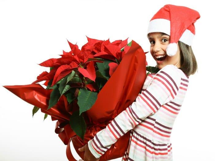 Precaución con las plantas típicas navideñas