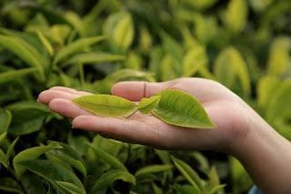 aceite de árbol del té