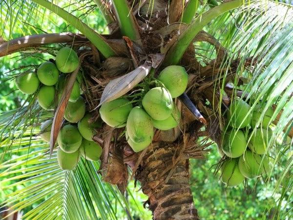 Aceite de coco como tratamiento del cáncer de colon