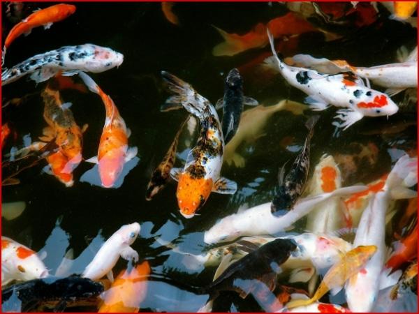 Peces koi informaci n historia y leyenda todo mascotas for Imagenes de peces chinos