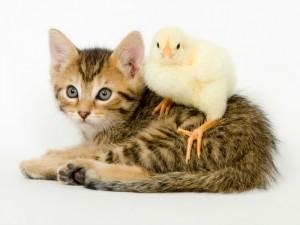 Gato y pollito