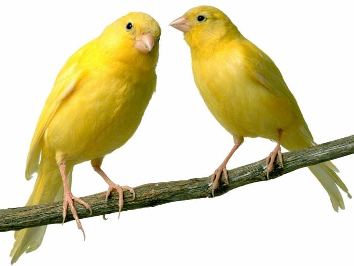 Canarios