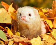Ferret in autumn leaves. Selective focus.