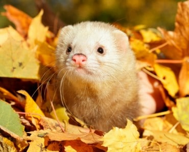 Ferret in autumn leaves. Selective focus.