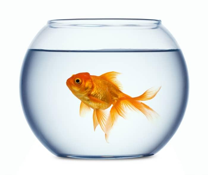 15 mejores peces para acuarios todo mascotas for Peceras con peces