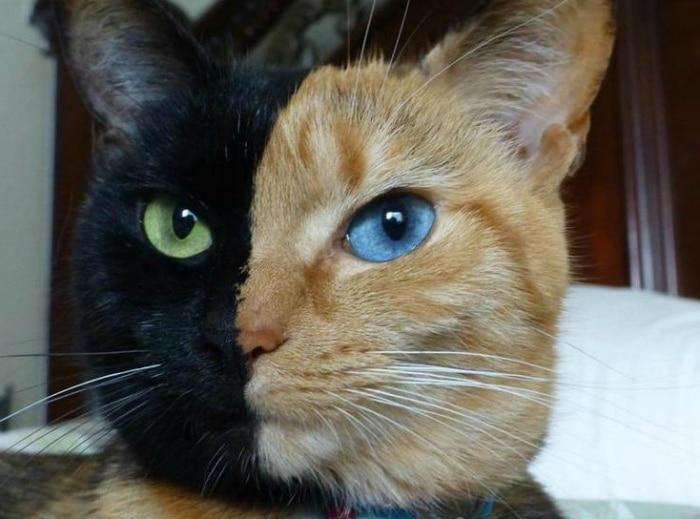 Venus gato quimera