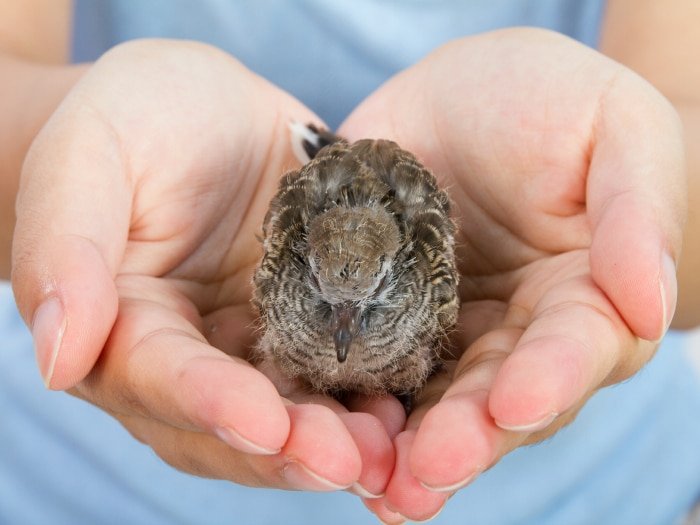 Razas de hamsters más conocidas