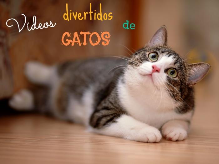 Vídeos graciosos de gatos