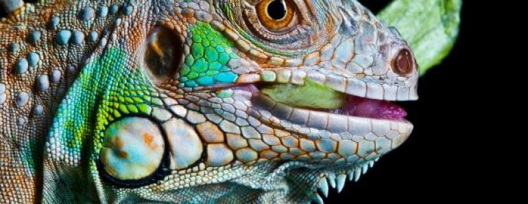 que-come-una-iguana