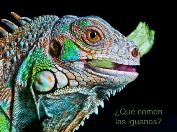 Qué come una iguana