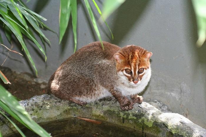 Gato de cabeza plana