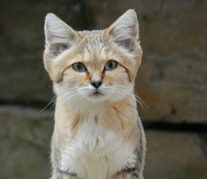 Sand Cat (Gato de las Arenas)