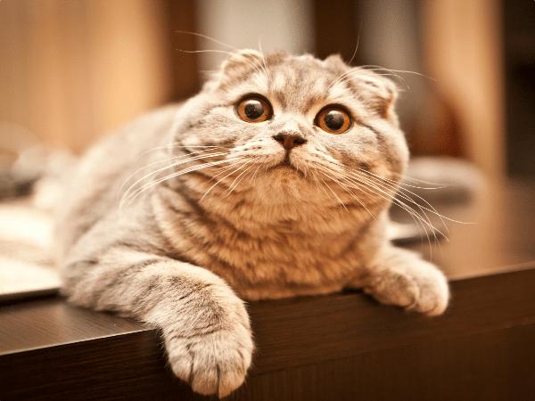 dia del gato 20 febrero