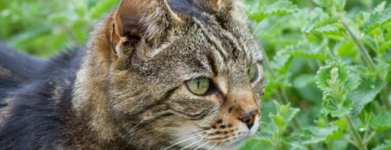 gato-hierba-catmint-600x450