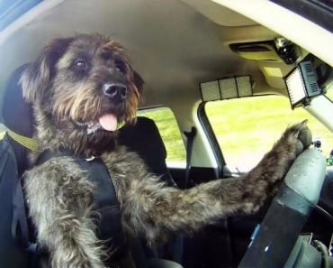 perro-conduciendo