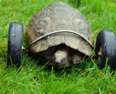 tortuga-ruedas