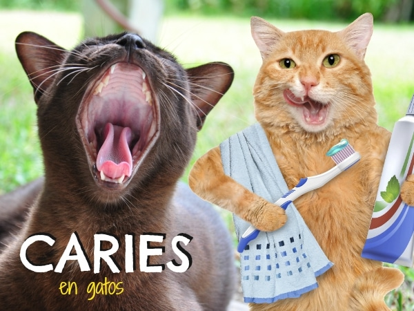 Caries en gatos
