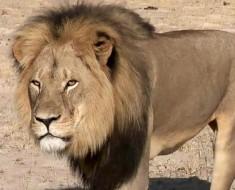 cecil_lion-hasta-siempre